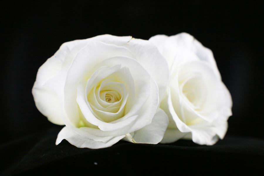 1360555416two-white-roses-
