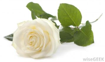 Awesome-White-Rose-Image