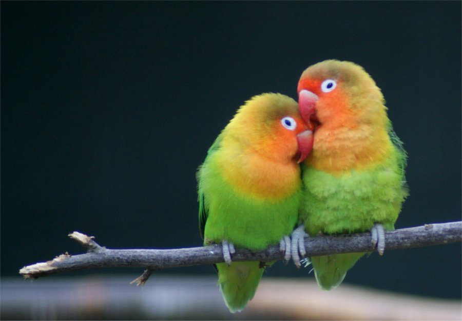 images-of-love-birds-love-birds-AbOwIi.jpg