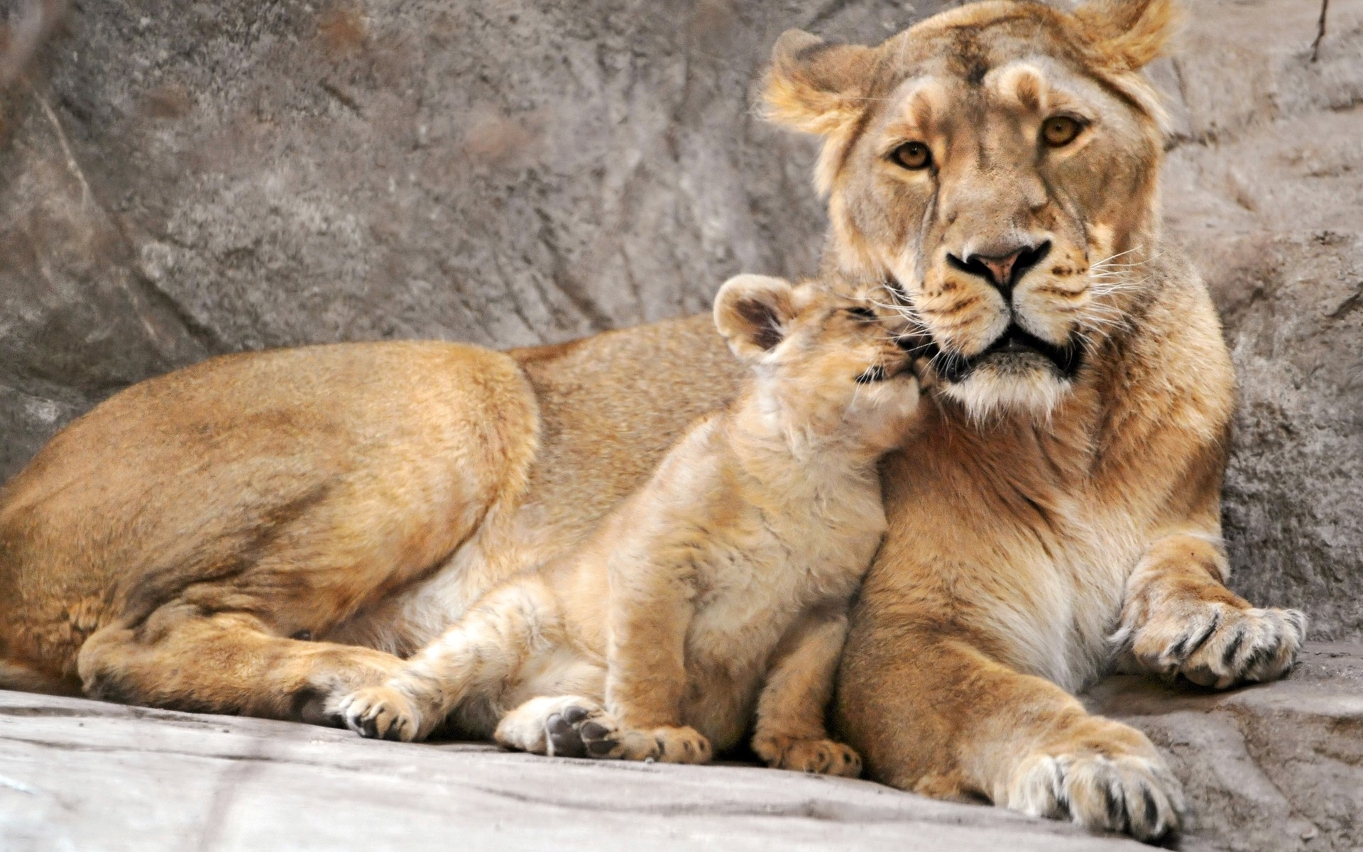 Cute_Lion_Child_Love_To_His_Mother_Lion_HD_Wallpapers.jpg
