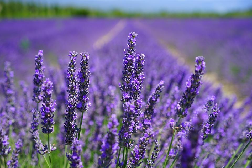 lavender-blossom-1595584_960_720.jpg