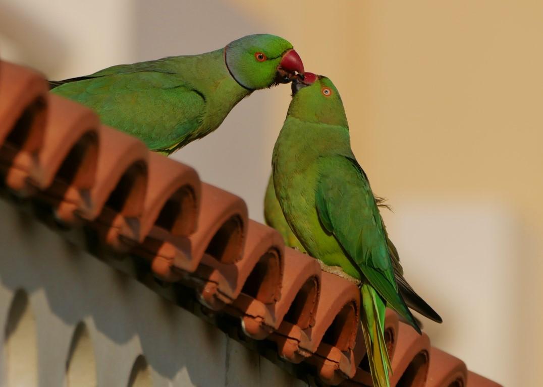 Balzfuettern-Halsbandsittichpaar.jpg